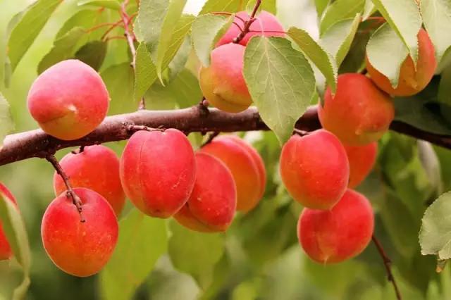 首页 区域特产 巨鹿串枝红杏