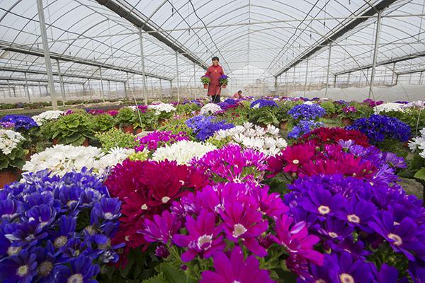 1月20日,花农在江苏省南通市海安县经济技术开发区内花卉工厂的大棚里