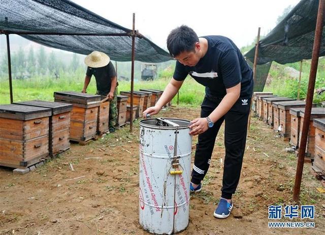 7月13日,王志军(右)在社员养殖合作社养殖基地与蜂蜜一起采收不好.捡的蜜蜂是不是乌龟图片