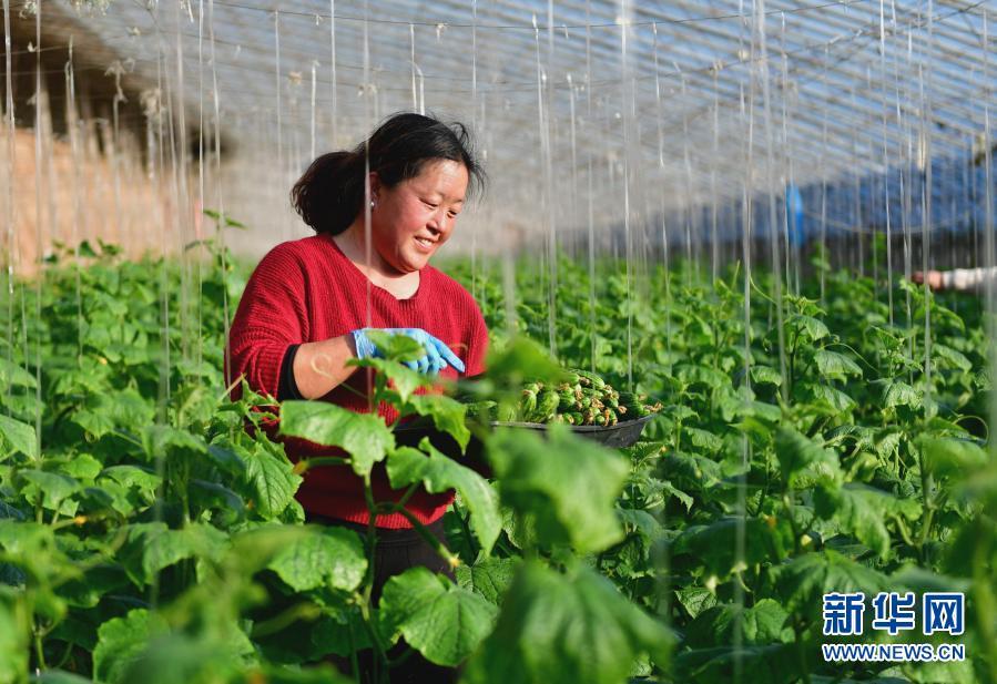 河北馆陶:特色产业助农增收