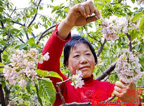 村妇女郑昌云在果园为樱桃树人工疏花.-山东枣庄林海果园 花事正忙图片