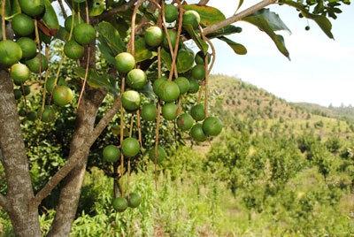 县累计种植澳洲坚果4.3万亩