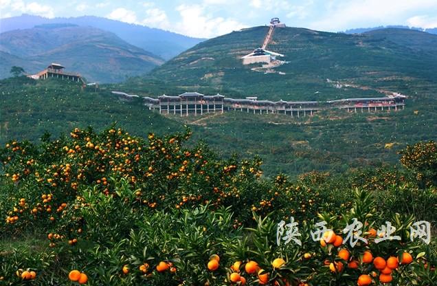 中国美丽田园——城固县刘家营村橘园