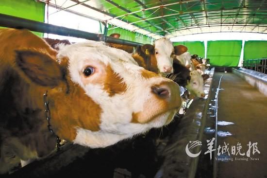 广东牛肉价格涨未刺激养殖 缺少政策支持养牛不如养猪