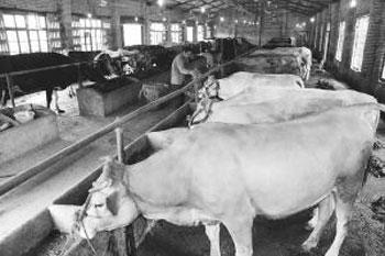 养牛繁育自给 越养越有底气