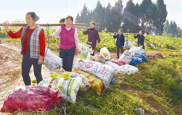 平台首页 农业资讯 > 正文    今年,乐至县中天镇近万亩芥菜喜获丰收图片