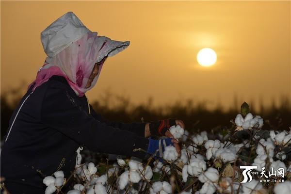 2016年9月23日,新疆生产建设兵团第二师7连职工在采摘棉田里的棉花。   连日来,地处塔里木盆地塔克拉玛干沙漠边缘的新疆生产建设兵团第二师职工陆续来到棉田,对田边的棉花进行采摘,为机采作业做准备。这标志着世界最大棉区新疆塔里木盆地棉花正式进入采收期。地处塔里木盆地塔克拉玛干沙漠边缘的新疆兵团南疆片区每年种植棉花达300万亩左右,是我国最重要的优质棉基地,棉花播种面积、单产、总产、出口量、商品率、人均占有量已连续多年位居全国首位。
