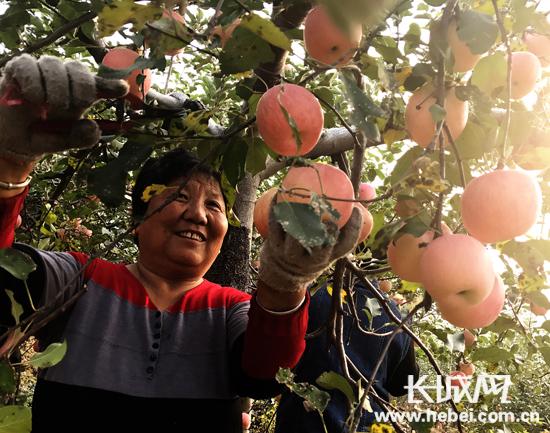 河北迁安大庄苹果又高产 农民喜迎丰收