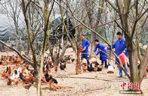 """江西省仨""""90后""""创业者养鸡年销售额逾600万"""