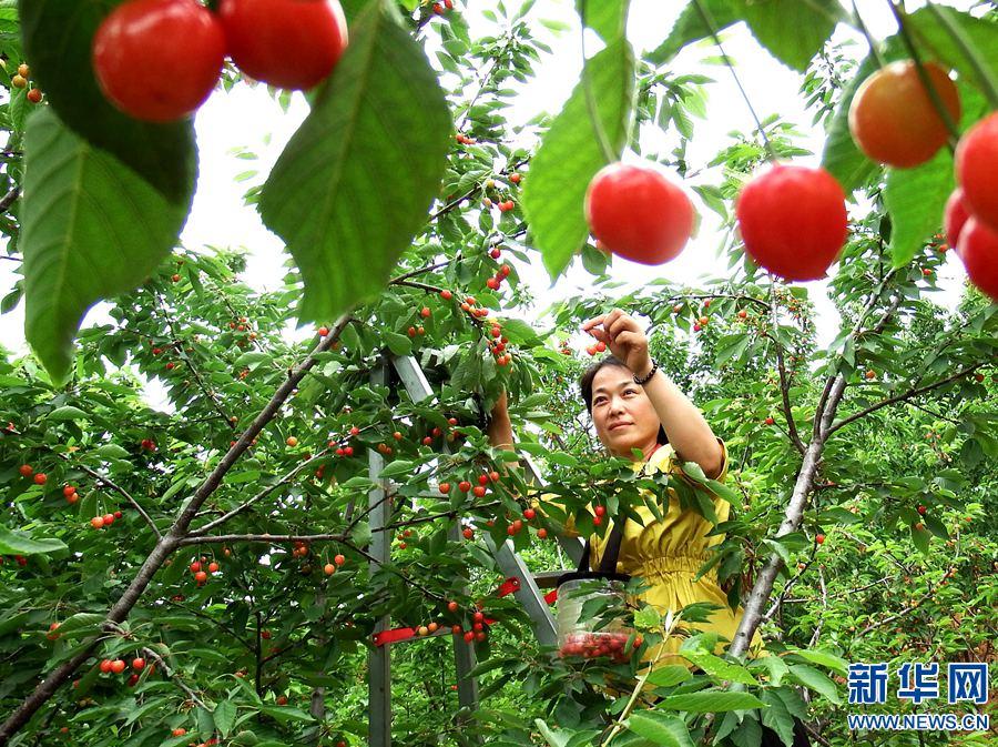 5月7日,新安县磁涧镇礼河村的村民在采摘樱桃.