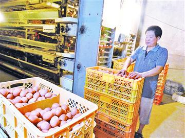 山东青岛:蛋价创下10年来历史最低 吃鸡蛋比吃馒头便宜